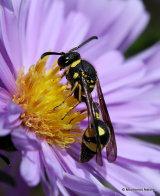 Heath Potter Wasp (Eumenes coarctatus) M