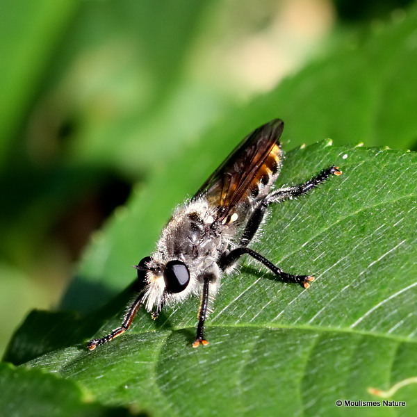 Ginger Robberfly (Choerades gilvus)