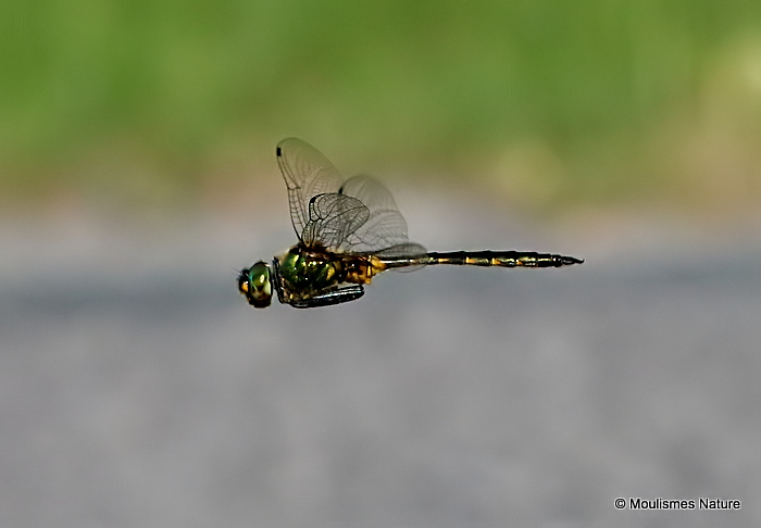 Yellow-spotted Emerald (Somatochlora flavomaculata) M