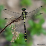 Green-eyed Hooktail (Onychogomphus forcipatus) M