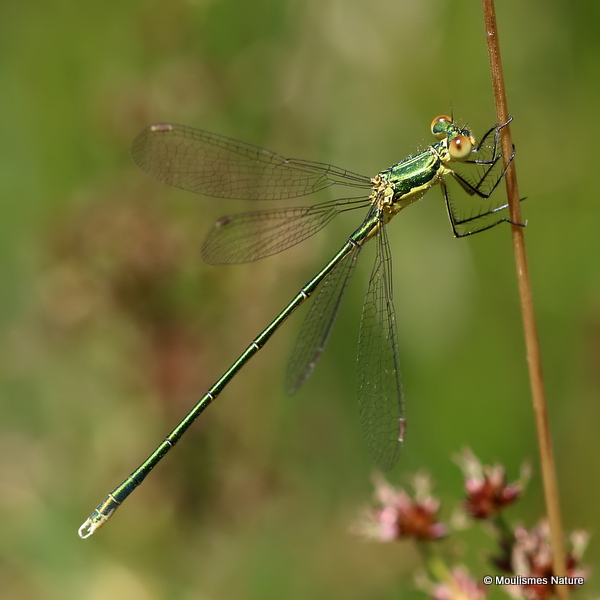 Small Emerald (Lestes virens) M-Imm