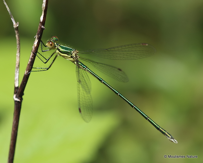 Small Emerald (Lestes virens) M-Imm