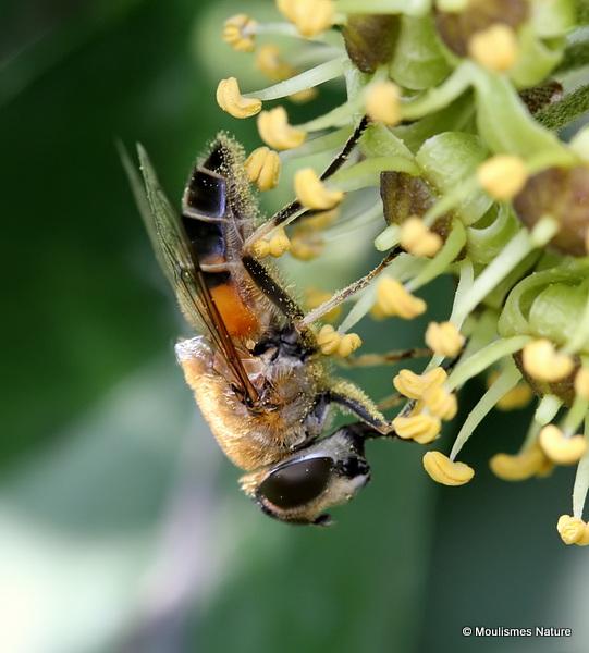 Eristalis similis (Glass-winged Dronefly)