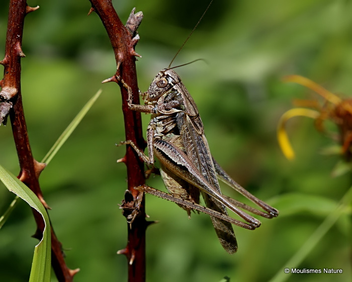 Grey Bush-cricket (Platycleis a. albopunctata) M