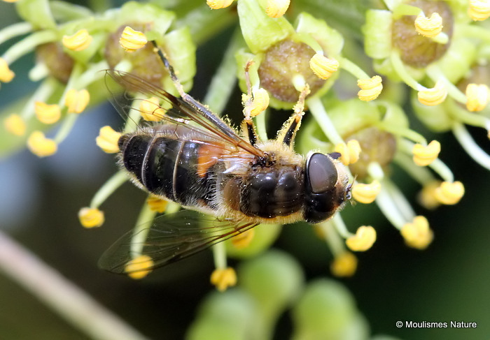 Eristalis pertinax (Tapered Dronefly) F