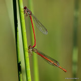 Small Red Damselflies (Ceriagrion tenellum) F
