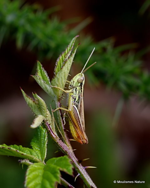 Common Straw Grasshopper (Euchorthippus declivus) M