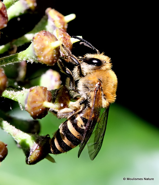 Ivy Bee (Colletes hederae)