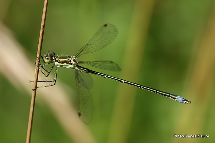 Small Emerald (Lestes virens) M