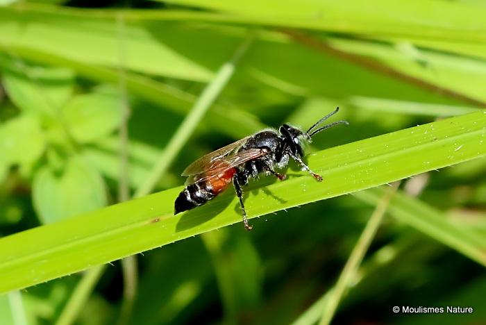 Tachytes panzeri (Crabronidae)