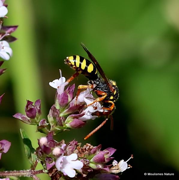Blunthorn Nomad Bee (Nomada flavopicta)