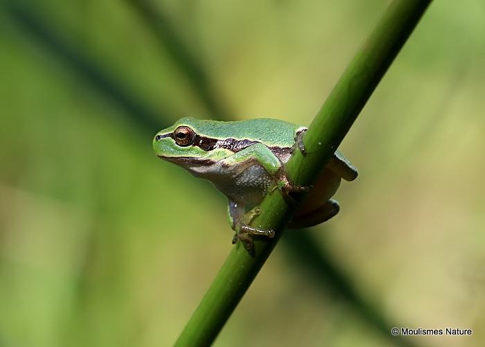 Common Tree Frog (Hyla arborea)