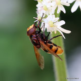 Volucella zonaria (Hornet Hoverfly) M