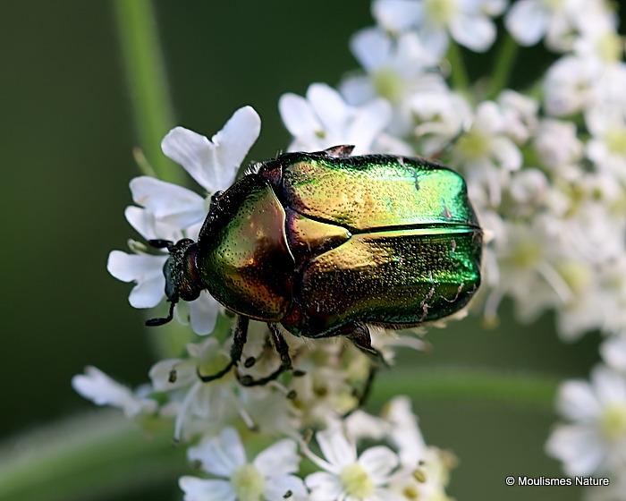 Chafer sp. cetonia aeruginosa