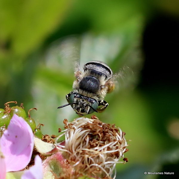 Long-horned bee sp. Tetraloniella graja F