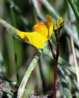 Utricularia vulgaris, Greater Bladderwort