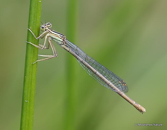 White-legged Damselfly (Platycnemis pennipes) F-Imm