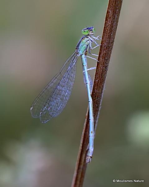 Scarce Blue-tailed Damselfly (Ischnura pumilio) F