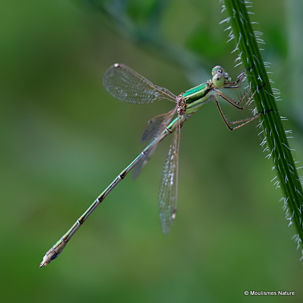 Southern Emerald (Lestes barbarus) M