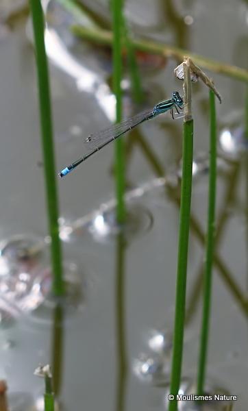 Scarce Blue-tailed Damselfly (Ischnura pumilio) M