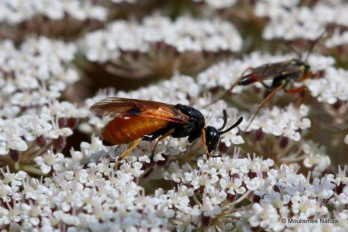 Arge melanochroa (Sawfly sp.)