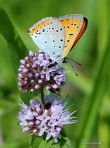 Large Copper (Lycaena dispar) M
