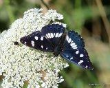 Southern White Admiral (Limenitis reducta), Le Sylvain azure