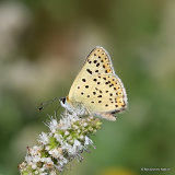 Sooty Copper (Lycaena tityrus) M