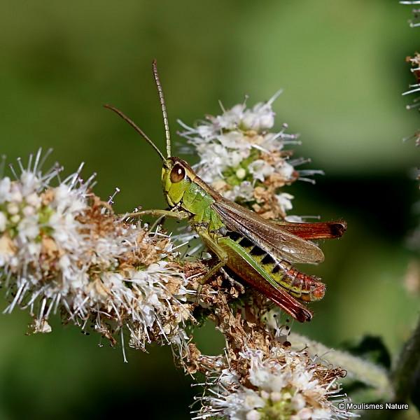 Meadow Grasshopper (Pseudochorthippus parallelus) M