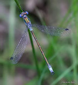 Scarce Emerald (Lestes dryas) M
