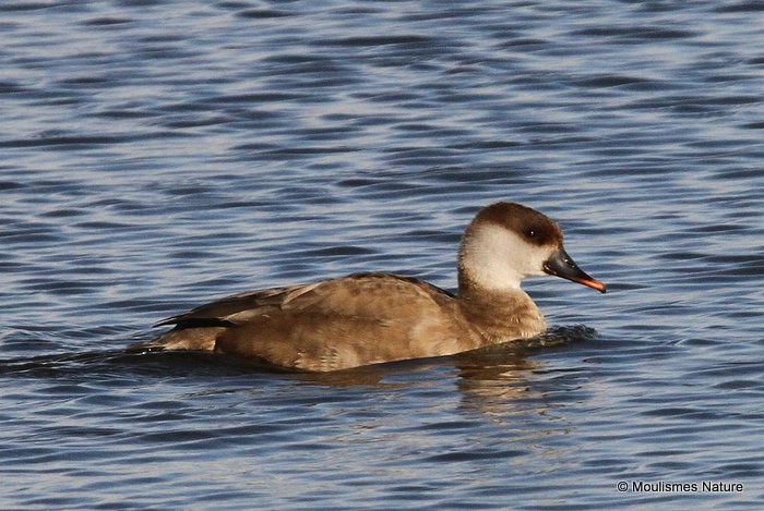 Red-crested Pochard (Netta rufina) F