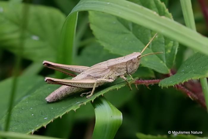 Large Gold Grasshopper (Chrysochraon d dispar) F