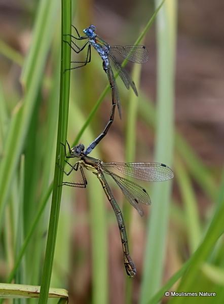 Scarce Emerald Damselflies (Lestes dryas)