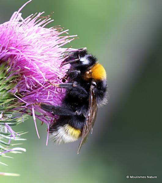 Bombus (Psithyrus) sp.