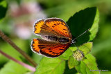 Large Copper (Lycaena dispar) F