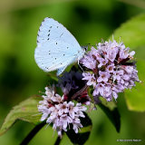 Holly Blue (Celastrina argiolus), L'Azuré des nerpruns