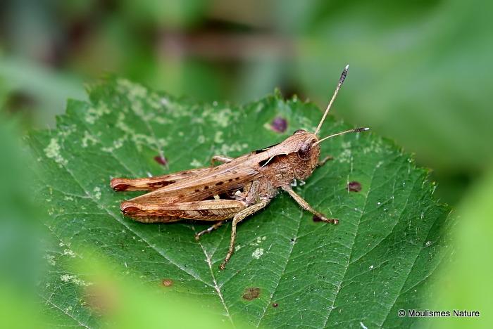 Rufous Grasshopper (Gomphocerippus rufus) M
