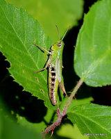 Meadow Grasshopper (Pseudochorthippus parallelus) F