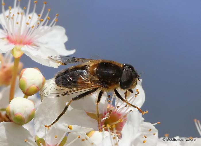 Eristalis pertinax (Tapered Dronefly) M