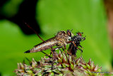 Robber-fly (Machimus) sp.