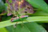 Long-winged Conehead (Conocephalus fuscus) M