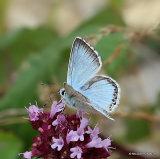 Chalk-hill Blue (Lysandra coridon) M, L'Argus bleu nacre