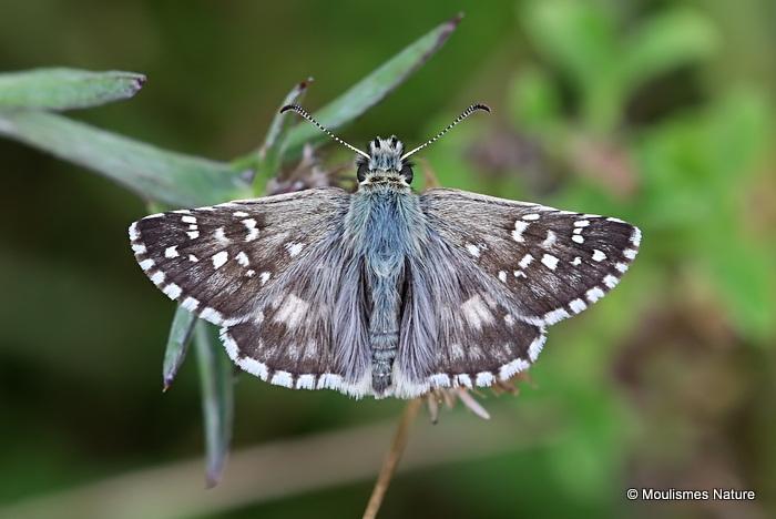 Oberthur's Grizzled Skipper (Pyrgus armoricanus) M