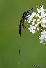 Parasitic wasp sp. Gasteruption jaculator F