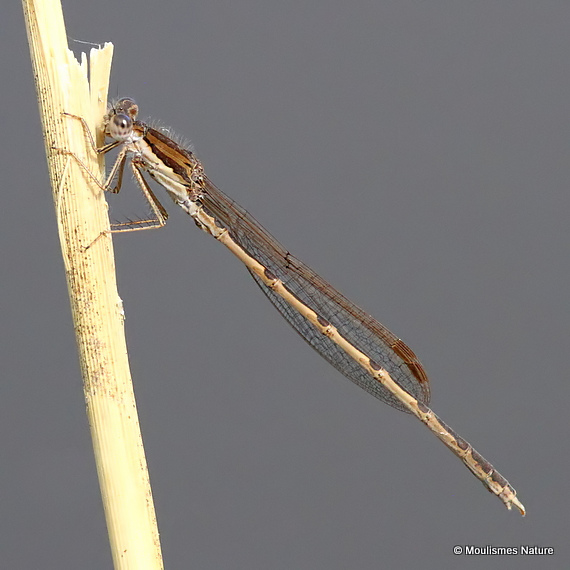 Winter Damselfly (Sympecma fusca) M