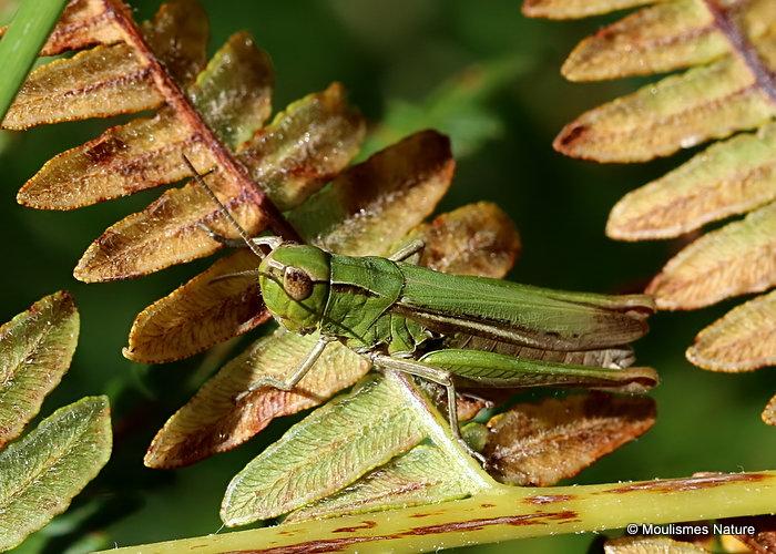 Steppe Grasshopper (Chorthippus d. dorsatus) F