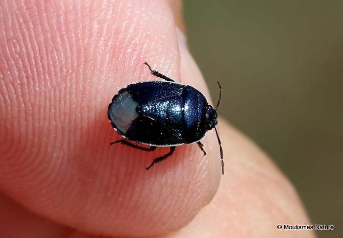 Down Shieldbug (Canthophorus impressus)
