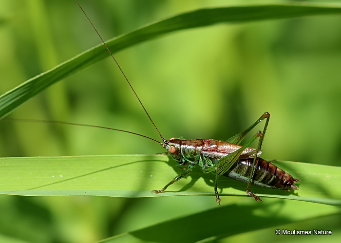 Short-winged Conehead (Conocephalus dorsalis) M