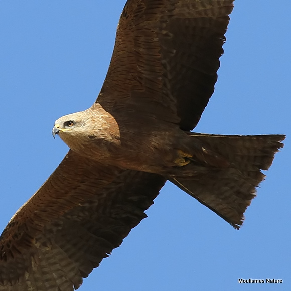 Black Kite (Milvus migrans) Ad