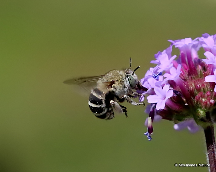 Long-horned bee sp. Tetraloniella graja F